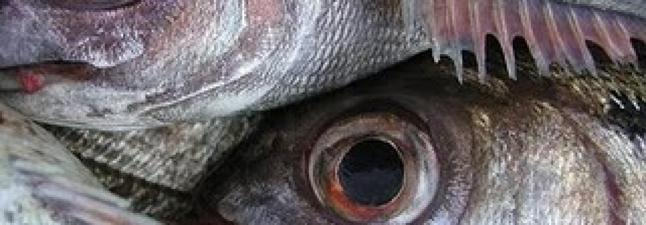 Embarcações de pesca açorianas têm que descarregar goraz nos portos da região