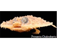 Peixe panqueca entre as dez espécies mais singulares descobertas em 2010