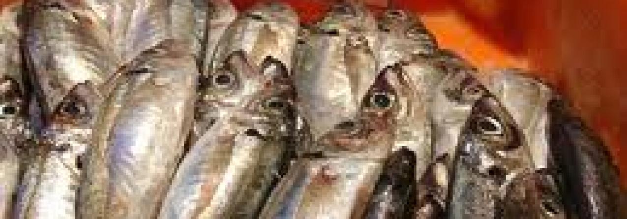 Pesca de carapau (chicharro) nos Açores pode ser reduzida por Bruxelas