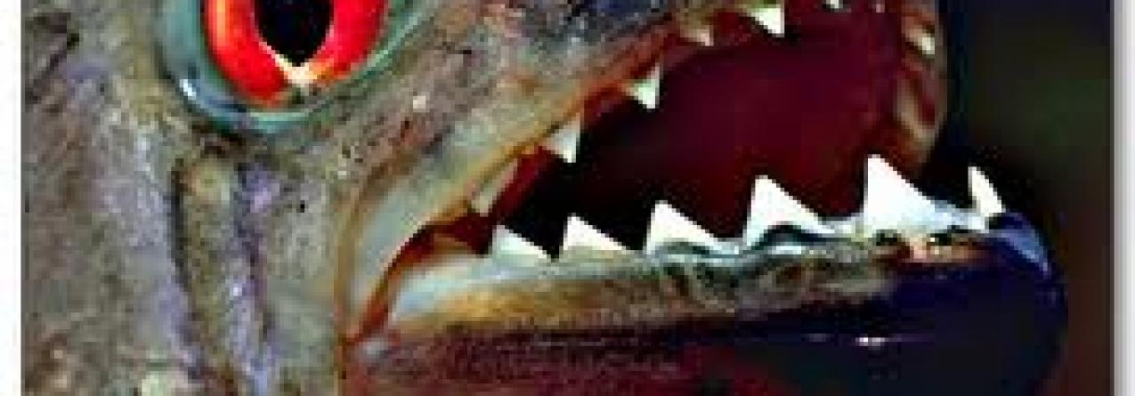 As piranhas também rosnam quando estão zangadas