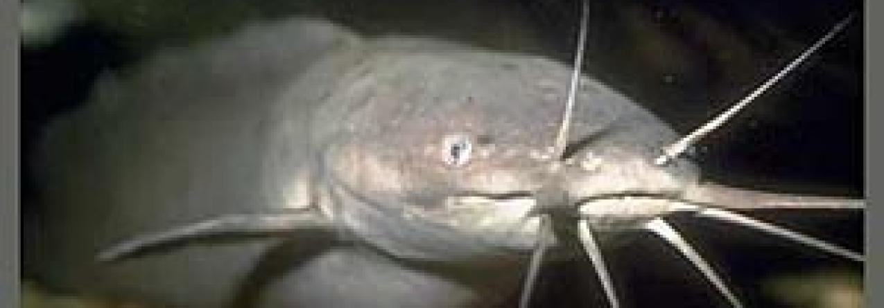 Peixe gigante invade rios portugueses