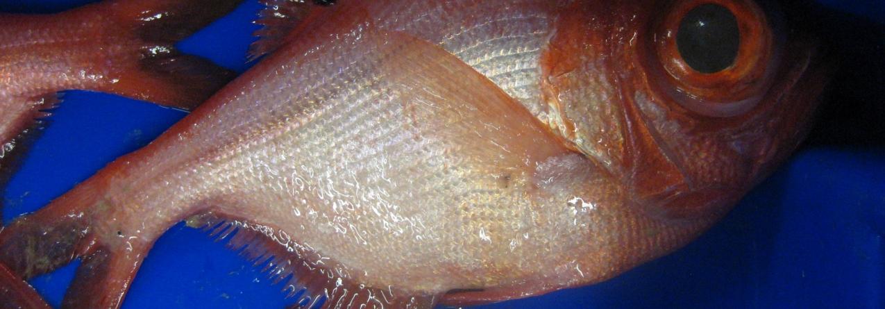 AVISO: Fecho da pesca das espécies Alfonsim e Imperador (Beryx SPP.)