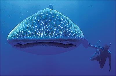 Tubarão-baleia aprende a sugar peixes das redes de pesca
