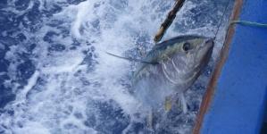 Barcos Congeladores fazem subir preços do atum ao pescador