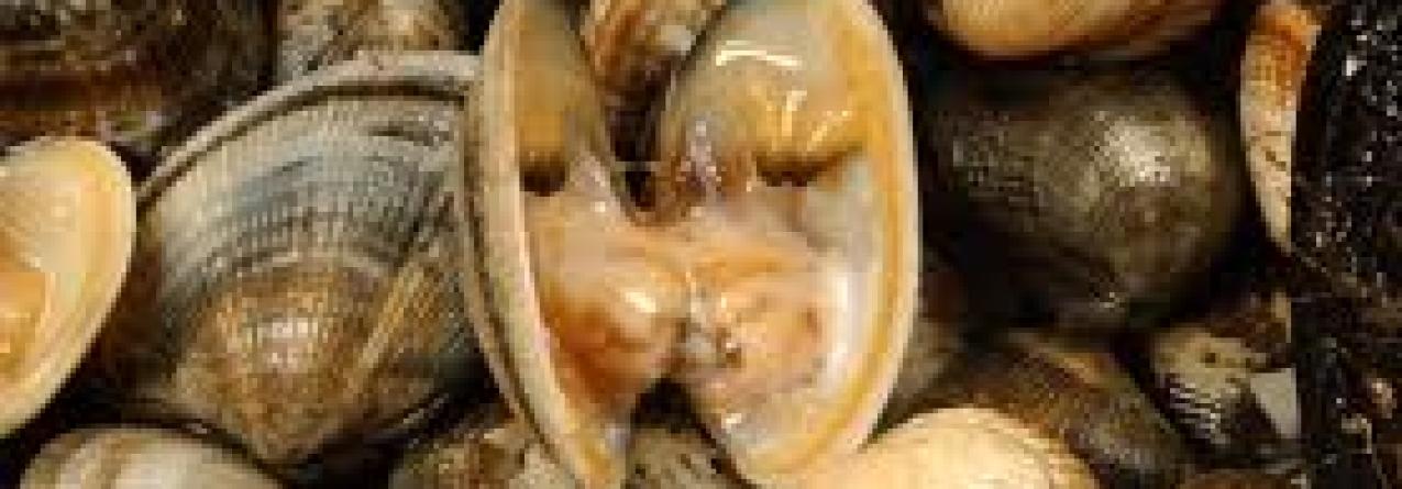 Interdita apanha de bivalves em várias zonas do país