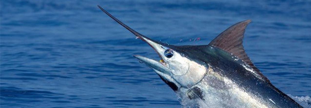 80% e fecho da pesca dirigida à espécie Espadim azul do Atlântico