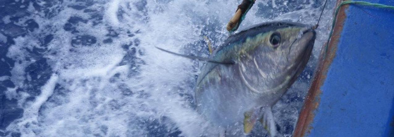 Governo defende reforço da quota de atum patudo