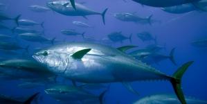Alteração no calendário da pesca de atum rabilho