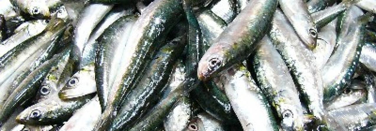 Nova fábrica nos Valados vai aproveitar peixe de menor valor