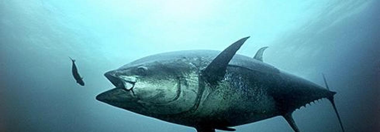 Atum: Japão vai impulsionar aquacultura nacional