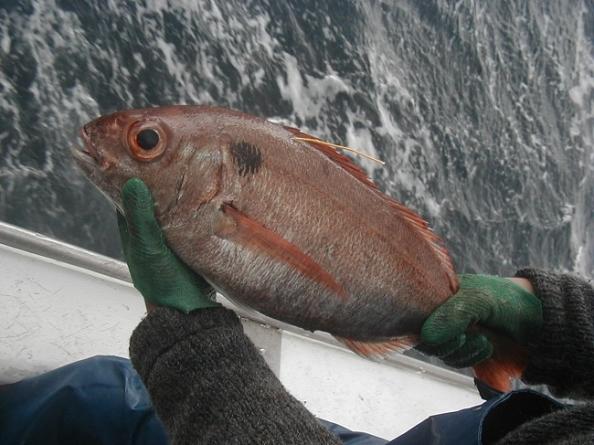 Peixes demersais do banco Condor continuam a ser monitorizados