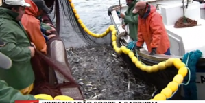 Abundância do stock ibérico de sardinha diminuiu 60% na última década (video)