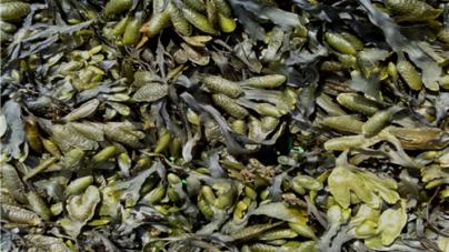 Empresa criada por biólogos relança negócio das algas na Ria de Aveiro