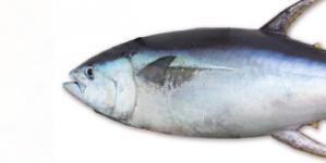 Conhecer o pescado de Portugal (2): Atum-albacora