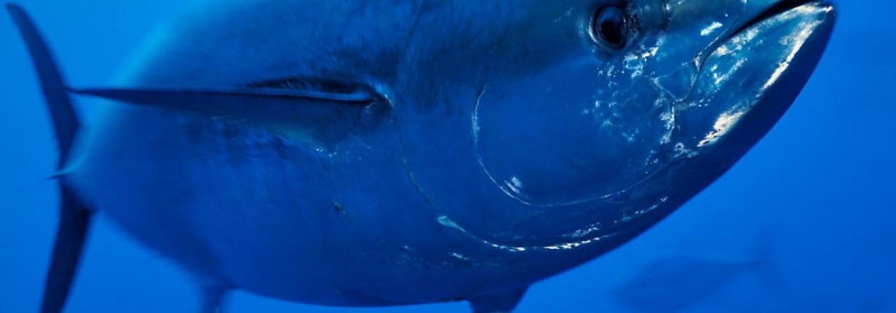 Atum rabilho do Mediterrâneo vai recuperar se a ambição de conservação continuar alta