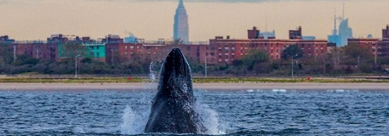 Nova Iorque: águas mais limpas estão a atrair mais baleias e tubarões