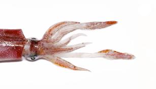 Conhecer o pescado de Portugal (3): Lula