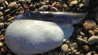 Peixe-balão japonês mortífero aparece na costa britânica