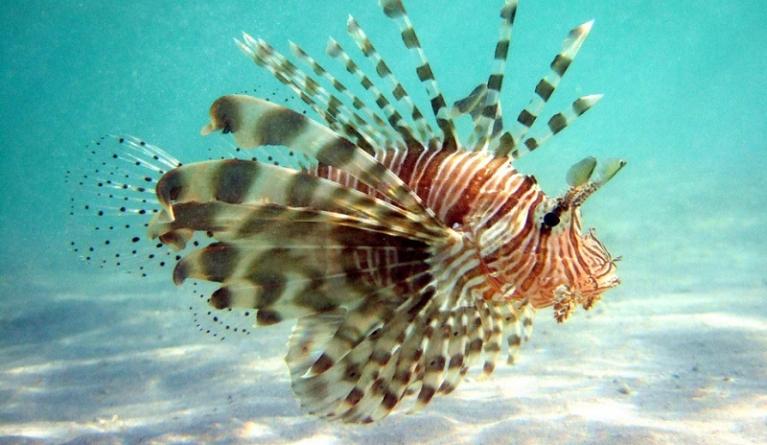 Peixe-leão invade o Atlântico