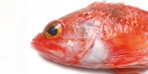Conhecer o pescado de Portugal (4): Boca-negra / Cantarilho