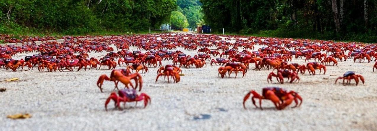 120 milhões de caranguejos vermelhos começam romaria em direcção ao Oceano Índico