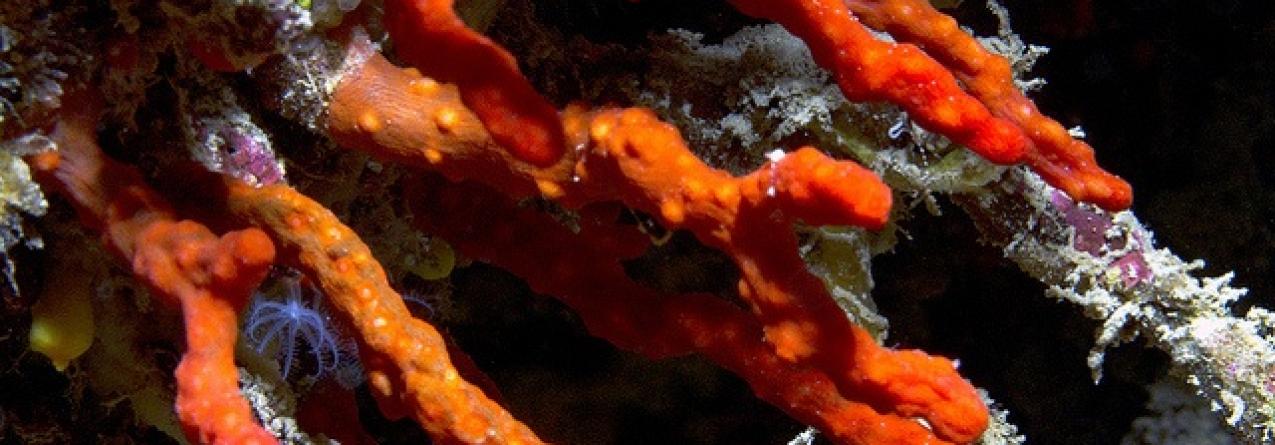 Em busca do coral vermelho