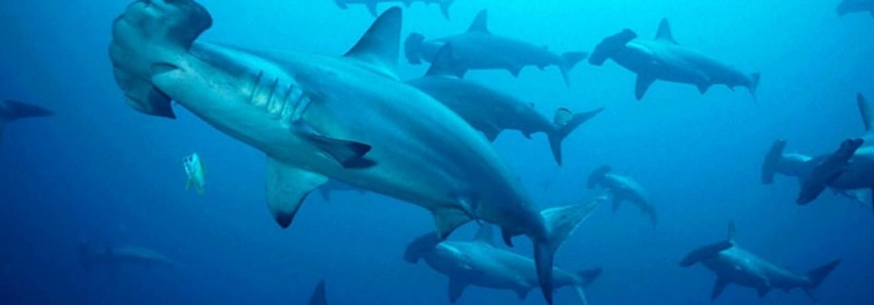 Tubarões: Austrália quer autoexcluir-se da proteção internacional de espécies que aprovou em novembro