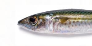 Conhecer o pescado de Portugal (5): Cavala