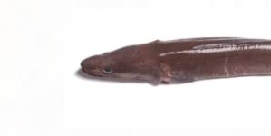 Conhecer o pescado de Portugal (6): Congro / Safio