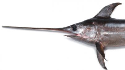 Conhecer o pescado de Portugal (7): Espadarte