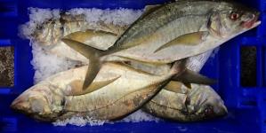 Graciosa: Pescado diminuiu 17,9% em 2014
