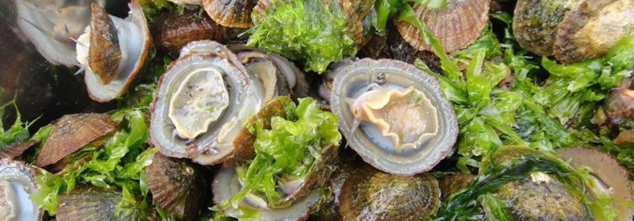 Açores podem produzir cracas, lapa burra, ouriço, pargo, atum, encharéu, goraz e muitas outras espécies em processo de aquacultura