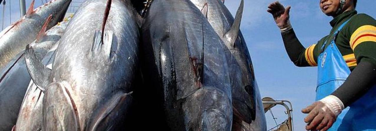 Pesca de atum-rabilho arranca hoje com mais 20% de capturas autorizadas