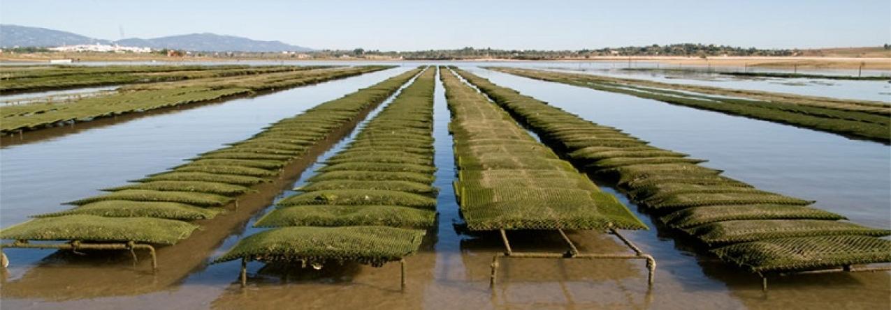 Produção de ostras com grande potencial de expansão no Algarve