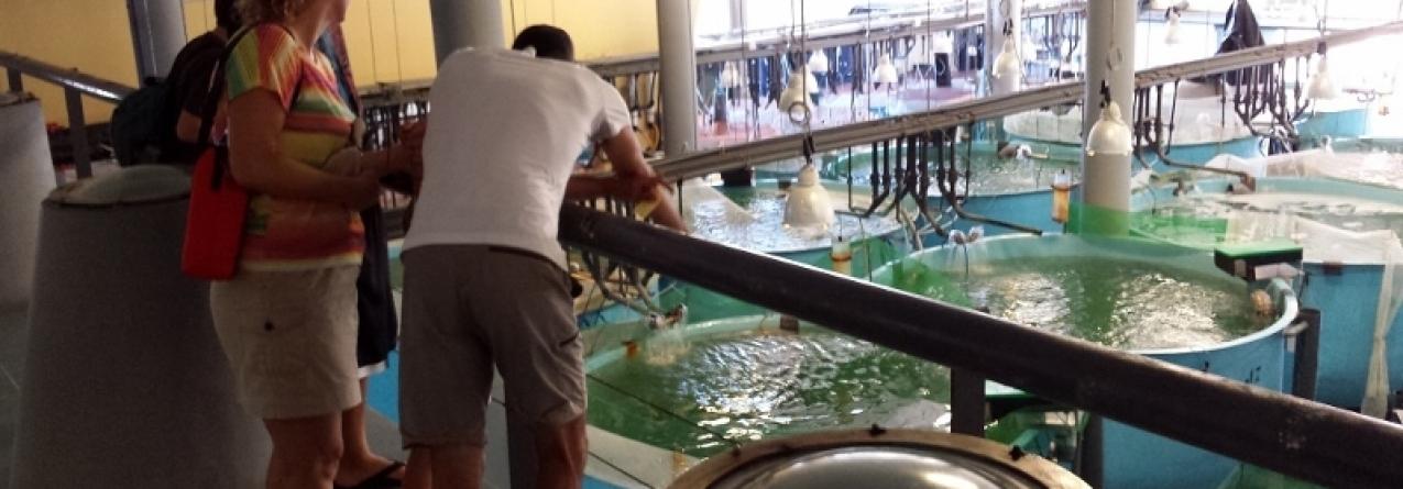 IPMA liberta na costa algarvia milhares de sargos e corvinas produzidos em aquacultura