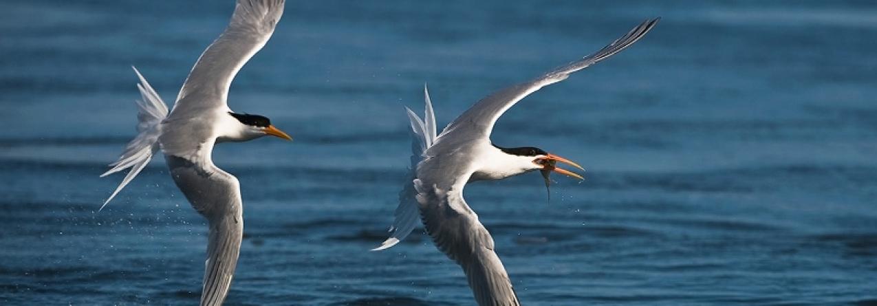 Quase todas as aves marinhas vão ter plástico no aparelho digestivo em 2050