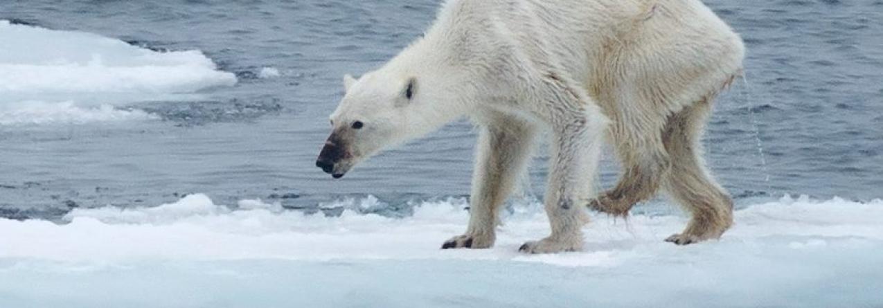 Alterações Climáticas // A foto do urso polar que está a chocar o mundo