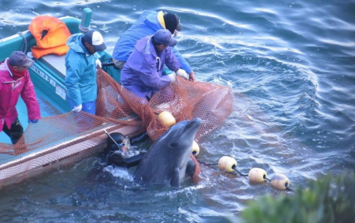 Japão // Caça anual ao golfinho começa hoje, caça à baleia no fim-de-semana