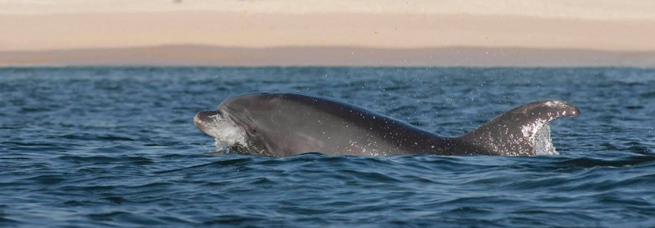 Morreu um dos mais velhos golfinhos do estuário do Sado (vídeo)