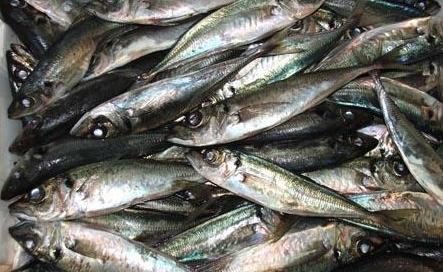 Fuga à lota em São Miguel // Há armadores de chicharro que pescam uma tonelada quando deviam pescar 250 quilos