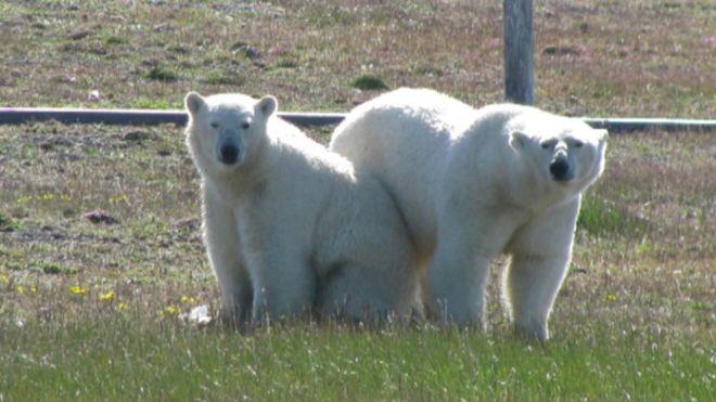 Árctico: Cientistas cercados por ursos polares há uma semana (com fotos)