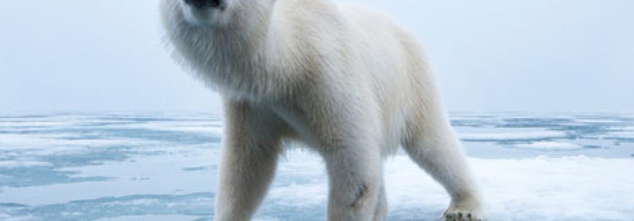 Ursos polares famintos encurralam cientistas no Ártico