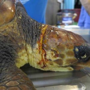 Tartaruga-boba, espécie em perigo, recupera no Aquário de Porto Pim, no Faial
