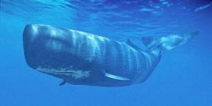 Açores recebem cimeira Whale Heritage Sites