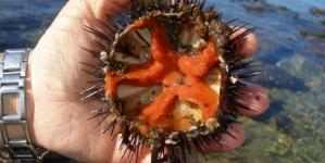 Ovas de ouriço podem ser 'caviar' da Madeira