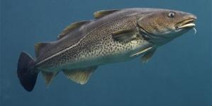 O bacalhau que comemos