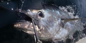3 – Atum rabilho, esse tesouro que nos tem passado ao lado // por Valdemar Oliveira