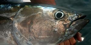 2 – Atum rabilho, esse tesouro que nos tem passado ao lado // por Valdemar Oliveira