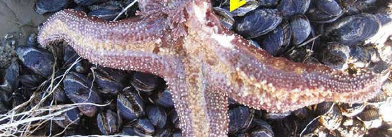 Milhões de estrelas do mar estão a matar-se a si próprias