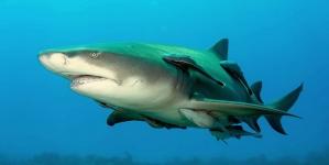 Tubarão, um senhor dos mares ameaçado